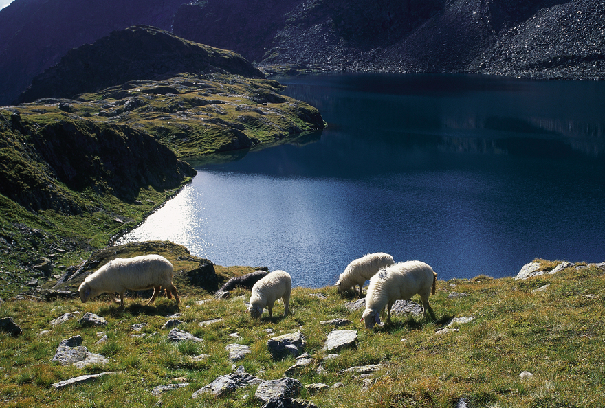 Lake Wangenitz / Carinthia / sheeps