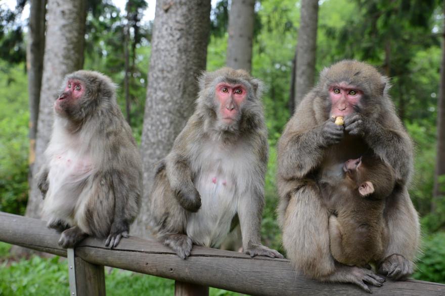 Die Japanmakaken vom Affenberg Landskron