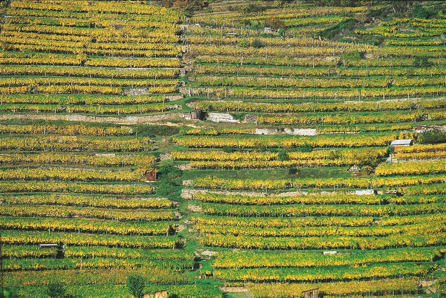 Weingarten bei Dürnstein an der Donau im Herbst. © Österreich Werbung, Fotograf: Krobath