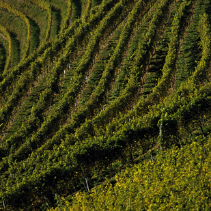 Vineyard in Southern Styria