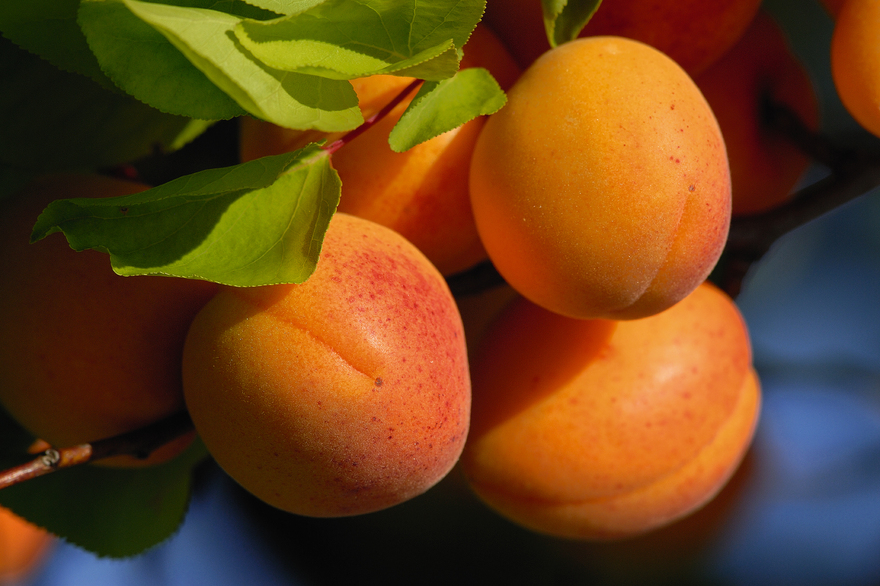 Apricots from the Wachau Valley
