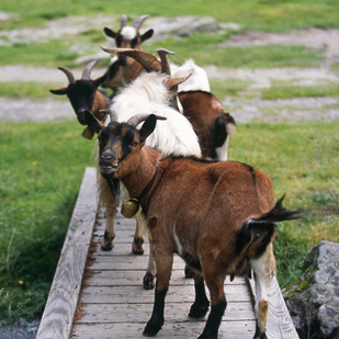 Goats at a bridge in Tyrol