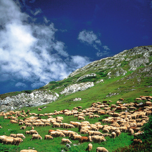 Alpine pasture with sheep Lech am Arlberg